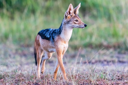 scouts: Blac -backed Jackal standing and scouts in the grass Stock Photo