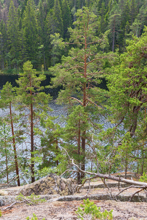 wildwood: Pine trees in a forest lake in the wilderness Stock Photo