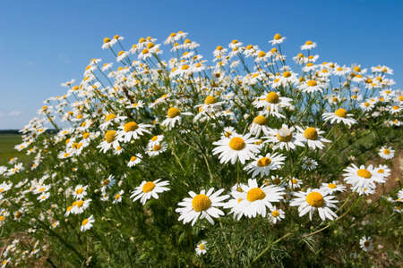 german chamomile: Chamomile flowers on the field