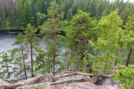 wildwood: Old forest with pine trees by a lake in the wild