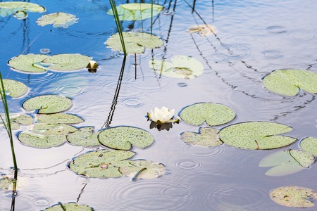 nenuphar: White water lilies in the water with rings of rain