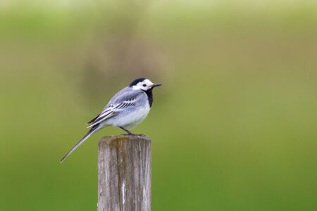 white wagtail: White Wagtail sitting on a pole Stock Photo