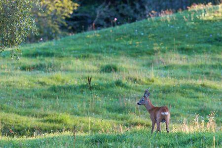 roebuck: Deer on a meadow in summer
