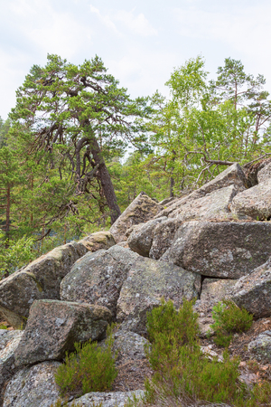 wildwood: Old Pine Tree that grows among the rocks in the forest
