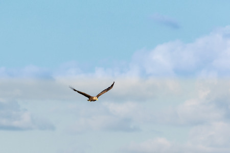 spread wings: White Tailed eagle with spread wings on the sky