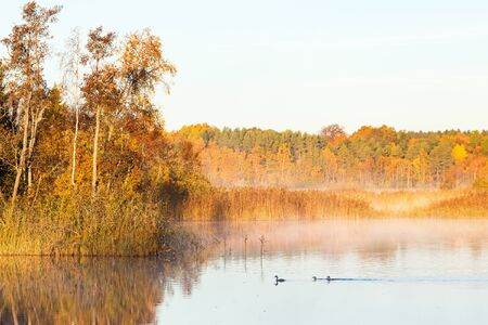 crested duck: Great Crested Grebes swimming in dawn the mist on the lake in the autumn Stock Photo