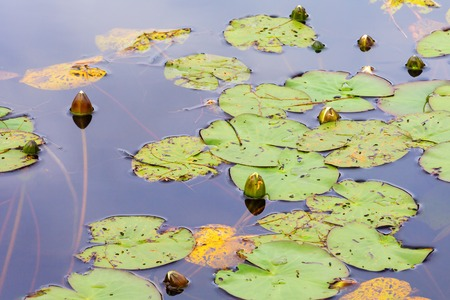 nenuphar: Water lily flowers in the lake