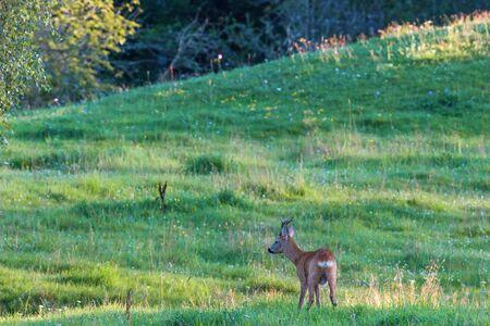 roebuck: Roebuck on a meadow