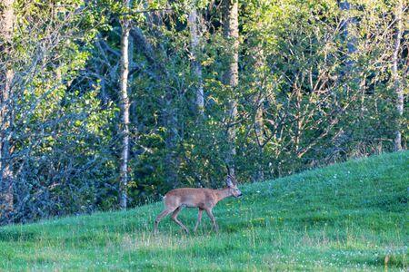 roebuck: Roe Deer buck going in the meadow by the woods