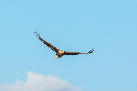 whitetailed: White-Tailed eagle flying in the sky Stock Photo