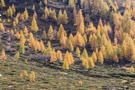 larch tree: Larch tree forest in the landscape