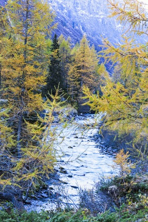 larch tree: Larch tree forest in river landscape