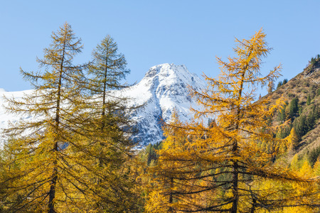Larch tree forest and snowcapped mountains