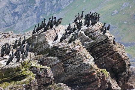 seabirds: European shag Sitting on a cliff Stock Photo