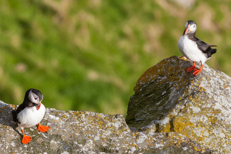 puffins: puffins close up  Stock Photo