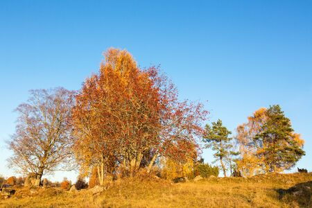 rowan tree: Rowan tree on a hill in autumn Stock Photo