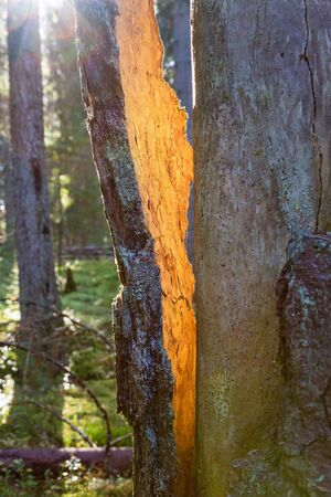 sunspot: Sunspot on the bark that cracked from the tree trunk