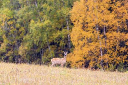 roebuck: Roe deer in autumn landscape Stock Photo