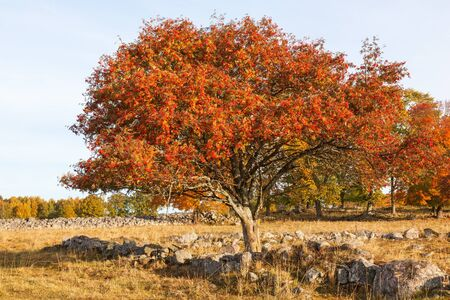 rowan tree: Rowan Tree with autumn colors in the meadow