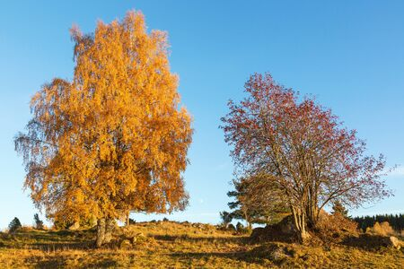 rowan tree: Rowan tree and a birch tree on a hill in autumn landscape