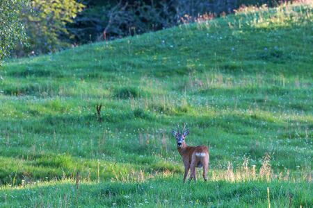 roebuck: Roebuck on a meadow in the woods