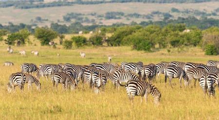 land animals: Zebras grazing grass inon the savannah landscape