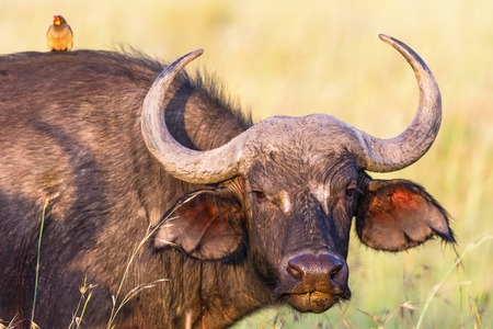 Watchful African buffalo portrait with a yellow-billed oxpecker on the back