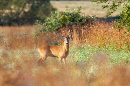 노란 사슴은 초원에서 벅.