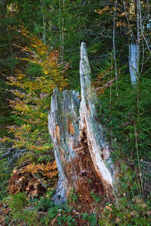 tree stump: Old wooden tree stump in the forest