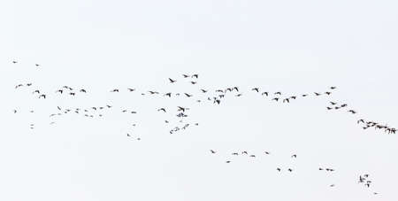 greylag: Bird migration with greylag geese in the spring