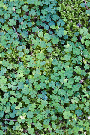 wood sorrel: Wood sorrel on the forest floor