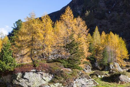larch tree: Larch tree forest in autumn in a alp valley