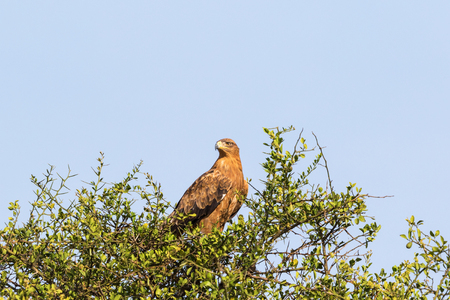 arbre vue dessus: Tawny eagle bird sitting in a treetop and scouts Banque d'images