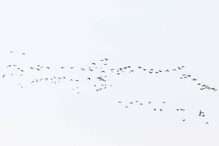 migration: Bird migration with the greylag geese on the sky