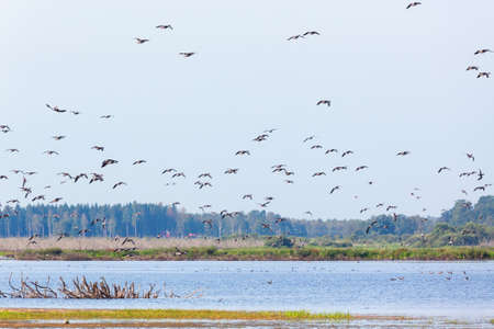 greylag: Flock of geese flying over the lake Stock Photo