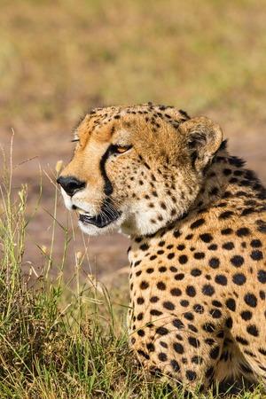 potrait: Cheetah potrait in the grassland