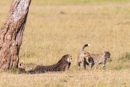 cheetah cub: Cheetah lying in the shade under a tree with playful cubs