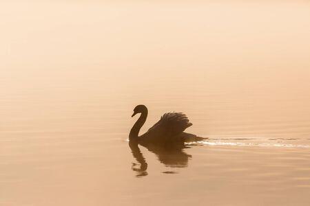 mute swan: Mute swan in morning light