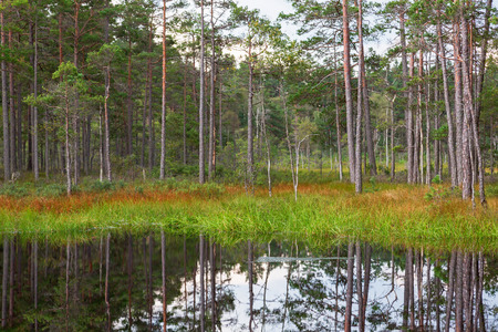waters: Forest lake with pine trees at the waters edge