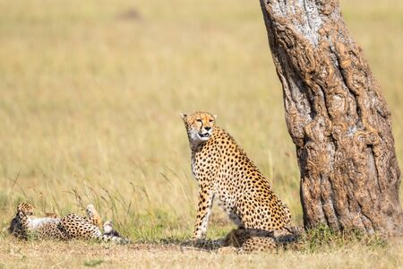 cheetah cub: Cheetah mother with cubs sitting at a tree and watching