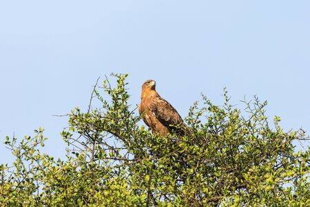 treetop: Tawny eagle sitting in a treetop and scouts Stock Photo