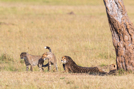 cheetah cub: Cheetah lying in the shade under a tree with playful cubs on the savannah Stock Photo