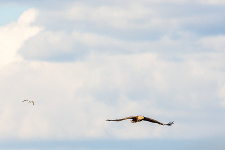 spread wings: White-Tailed eagle flying with spread wings in the sky Stock Photo