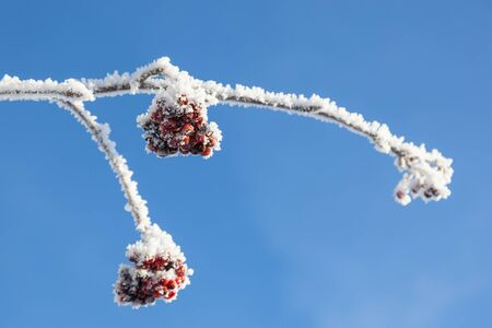 hoarfrost: Rowanberry on hoarfrost covered branches