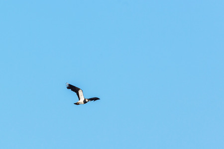 lapwing: Northern Lapwing bird fly in the sky