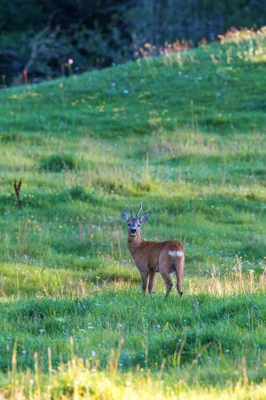 roebuck: Roebuck on a meadow in summer Stock Photo