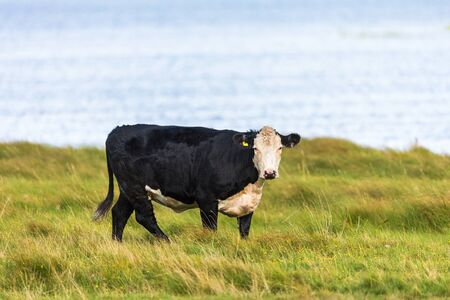 black moor: Cow standing on the meadow and looking by the lake
