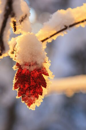 branches and leaves: Autumn leaves with frost and snow in winter Stock Photo