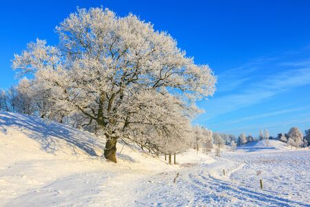 Old oak tree in a winter countryside landscape