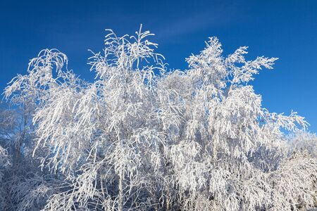 Birch trees with hoarfrost on the branches